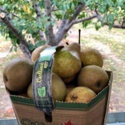 bosc pears