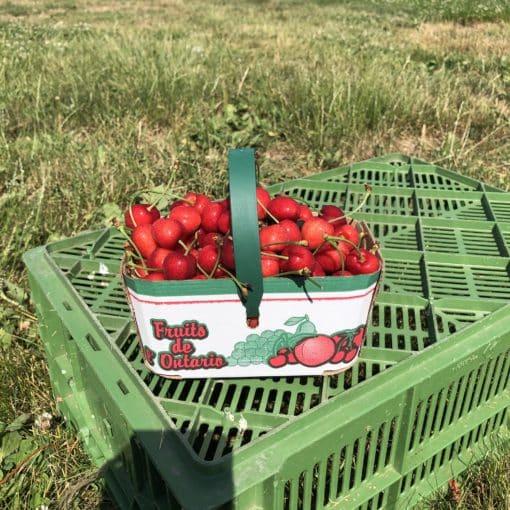 1.5 Pound Basket of Cherries