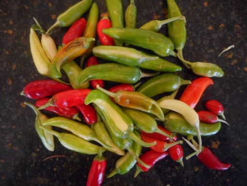 Pepper-Varigated Spicy Fish-25 seeds Fish Pepper is ornamental & medium hot. Varigated foliage & striped fruit.Matures early & productive