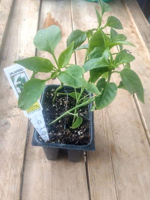 Jalapeno seedling