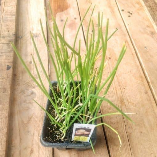 Vidalia yellow onion seedling