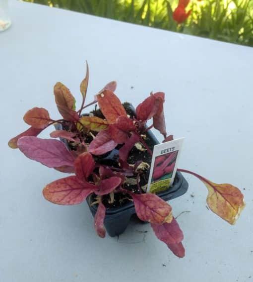 red leafy seedling