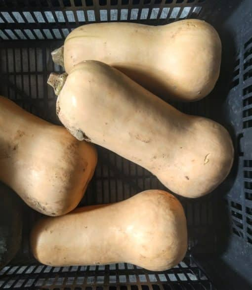 crate of butternut squashes