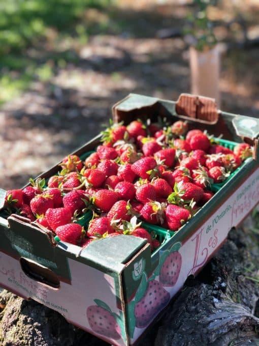 Reyes Strawberries Flat