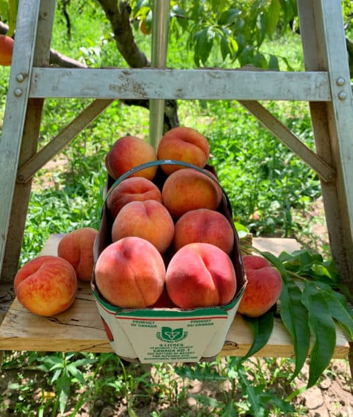 Flat of Peaches (6 baskets/flat) Flat of Freestone Peaches, each flat contains six (6) 3L baskets. Variety is Allstar