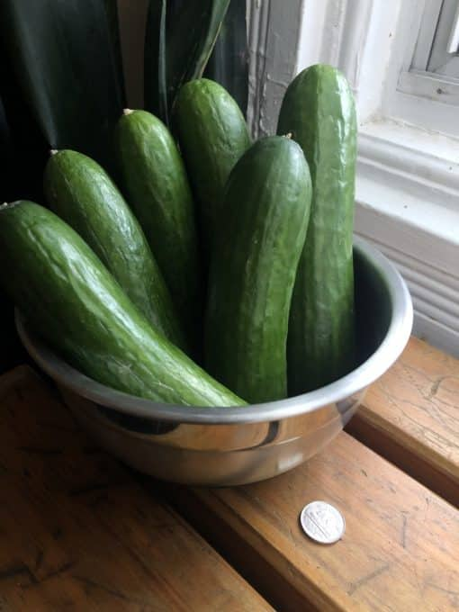 Mini-Cucumbers, 1lb Organic Greenhouse mini-cucmbers, 6-8inches in length