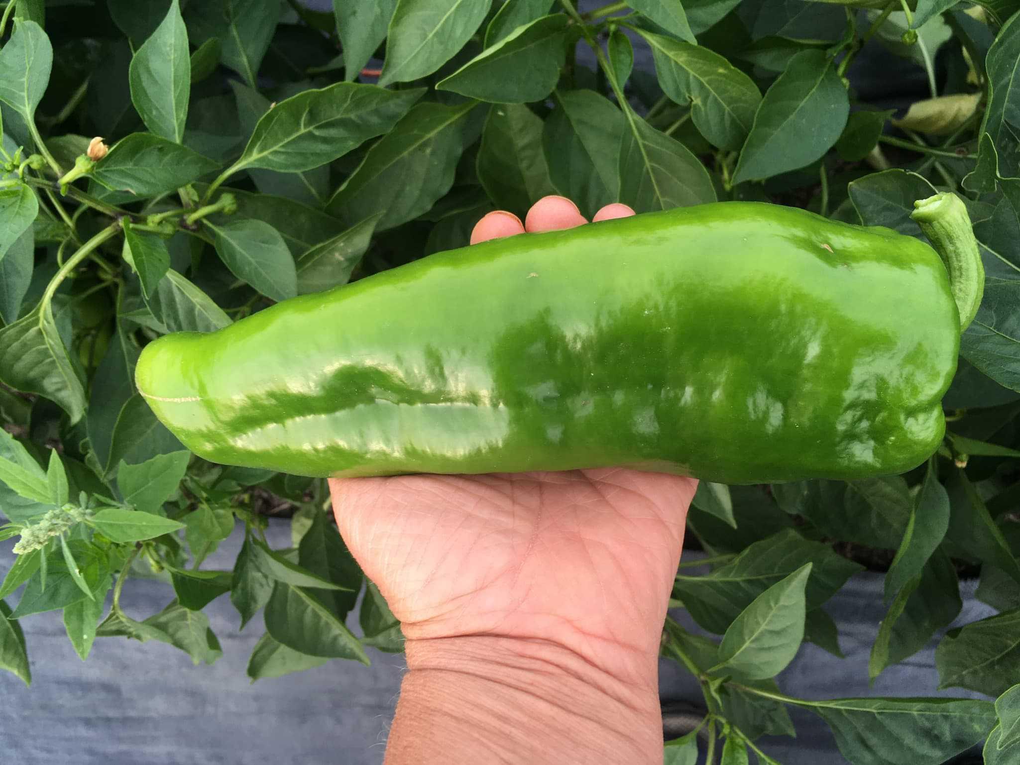 Corno di Toro Pepper